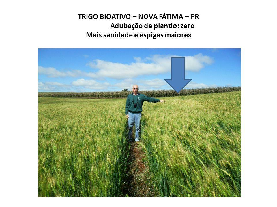TRIGO BIOATIVO – NOVA FÁTIMA – PR Adubação de plantio: zero Mais sanidade e espigas maiores