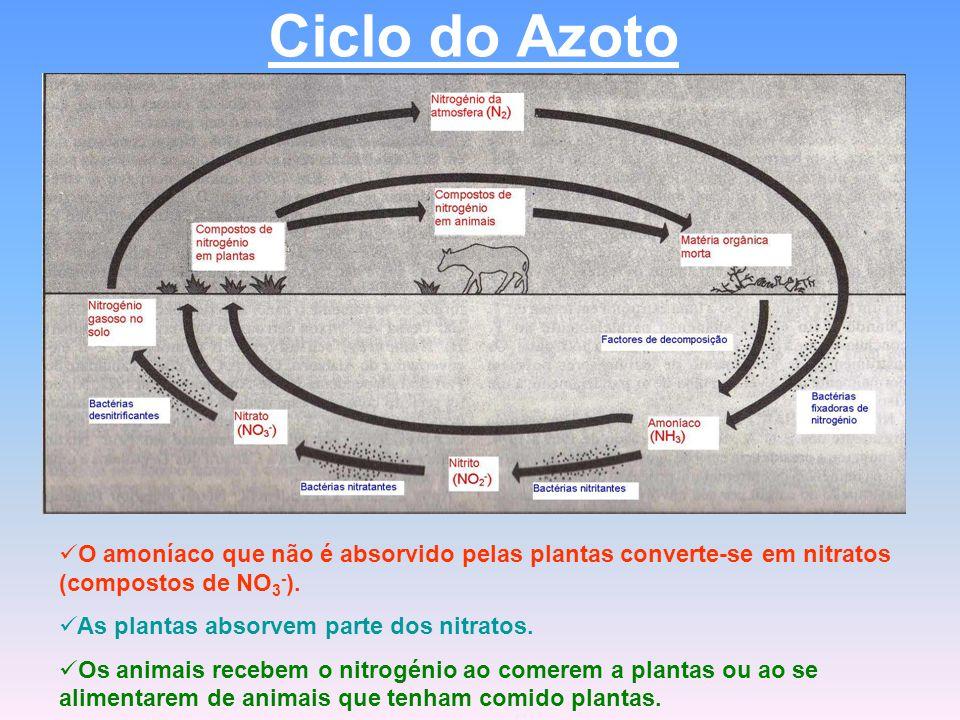 Ciclo do Azoto O amoníaco que não é absorvido pelas plantas converte-se em nitratos (compostos de NO 3 - ). As plantas absorvem parte dos nitratos. Os