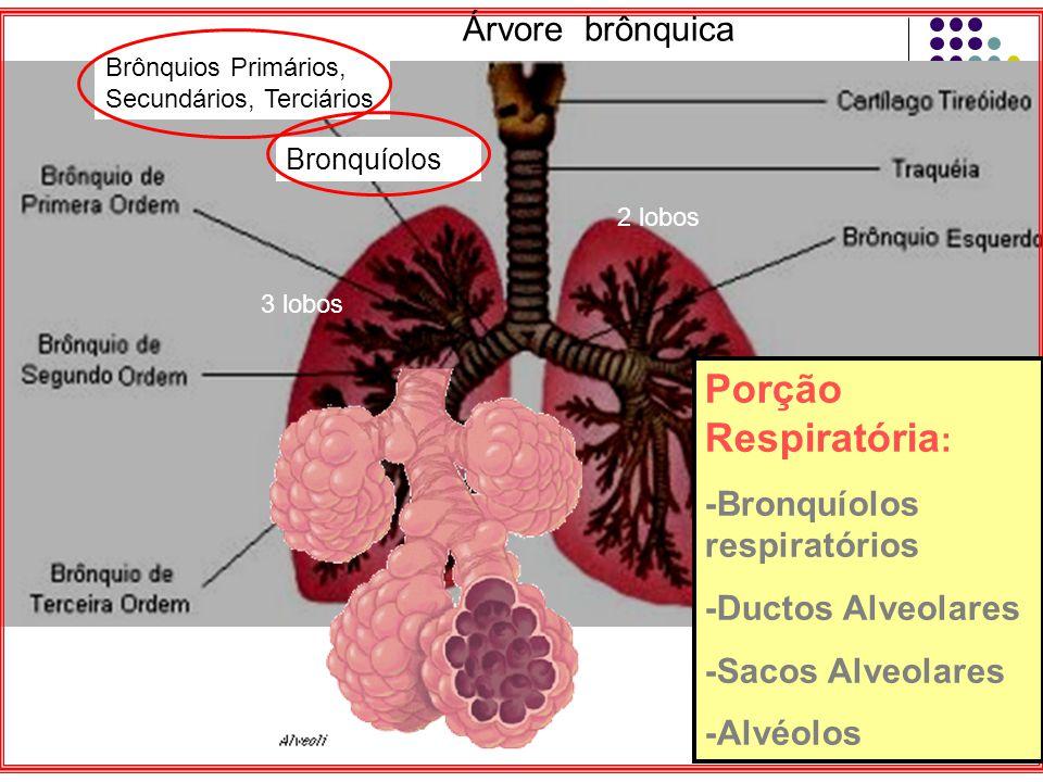 Porção Respiratória : -Bronquíolos respiratórios -Ductos Alveolares -Sacos Alveolares -Alvéolos Brônquios Primários, Secundários, Terciários Bronquíolos Árvore brônquica 3 lobos 2 lobos