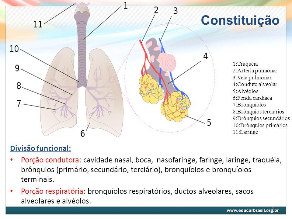 Constituição Divisão funcional: Porção condutora: cavidade nasal, boca, nasofaringe, faringe, laringe, traquéia, brônquios (primário, secundário, terciário), bronquíolos e bronquíolos terminais.