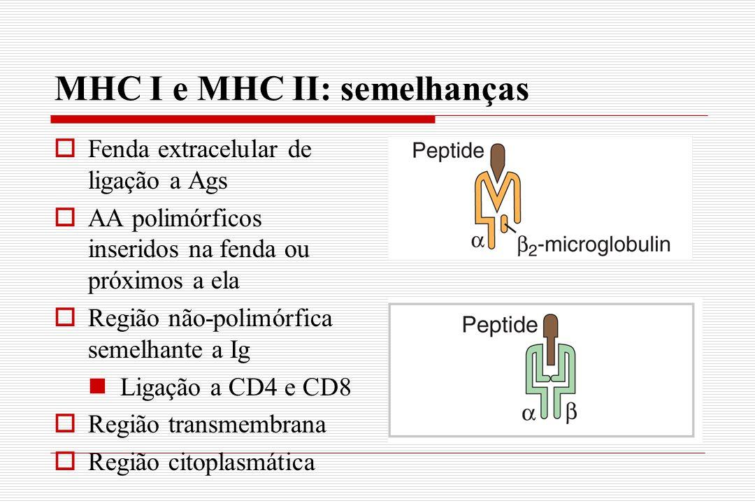 MHC I e MHC II: semelhanças  Fenda extracelular de ligação a Ags  AA polimórficos inseridos na fenda ou próximos a ela  Região não-polimórfica seme