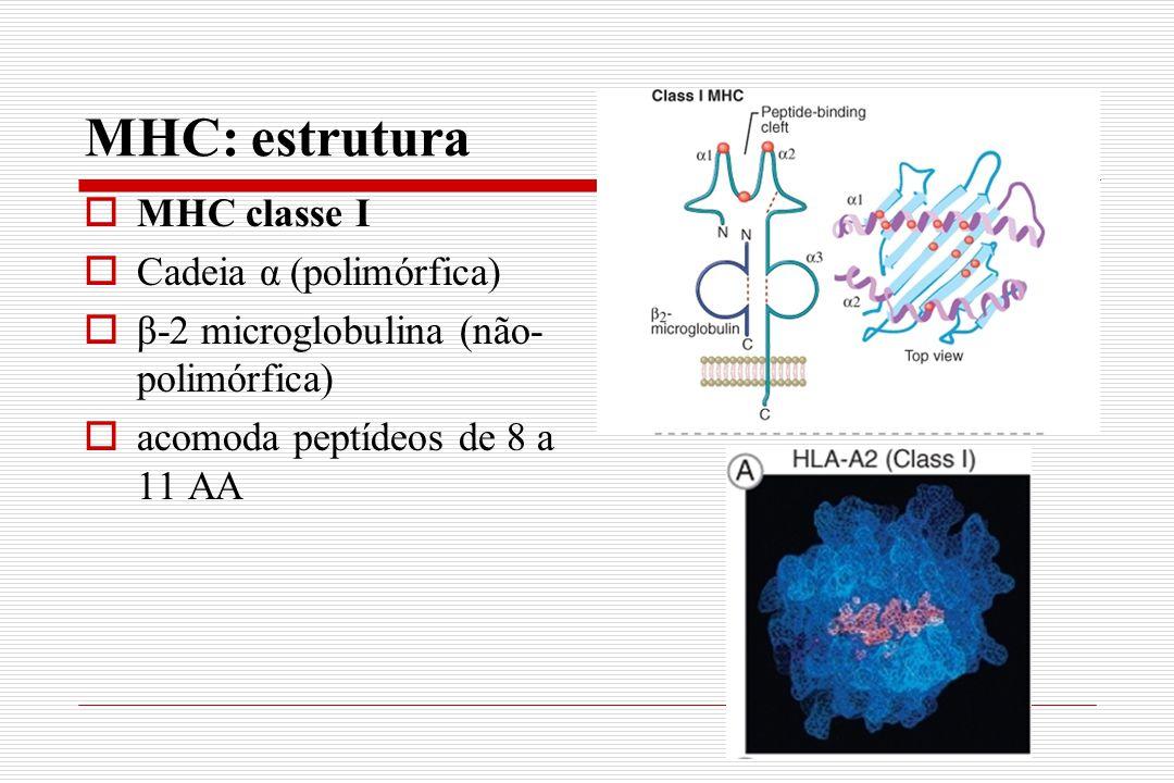 MHC: estrutura  MHC classe I  Cadeia α (polimórfica)  β-2 microglobulina (não- polimórfica)  acomoda peptídeos de 8 a 11 AA