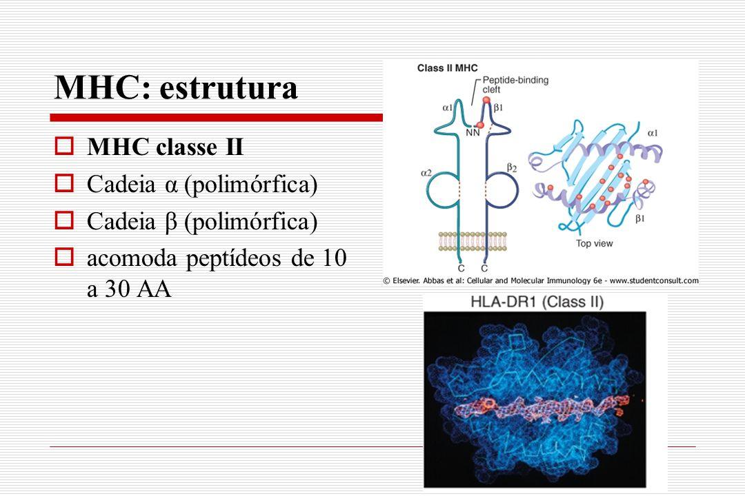 MHC: estrutura  MHC classe II  Cadeia α (polimórfica)  Cadeia β (polimórfica)  acomoda peptídeos de 10 a 30 AA
