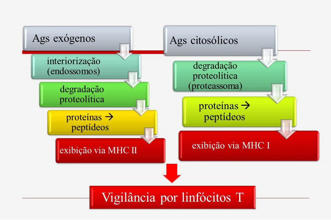 Ags exógenos interiorização (endossomos) degradação proteolítica proteínas  peptídeos exibição via MHC II Ags citosólicos degradação proteolítica (pr