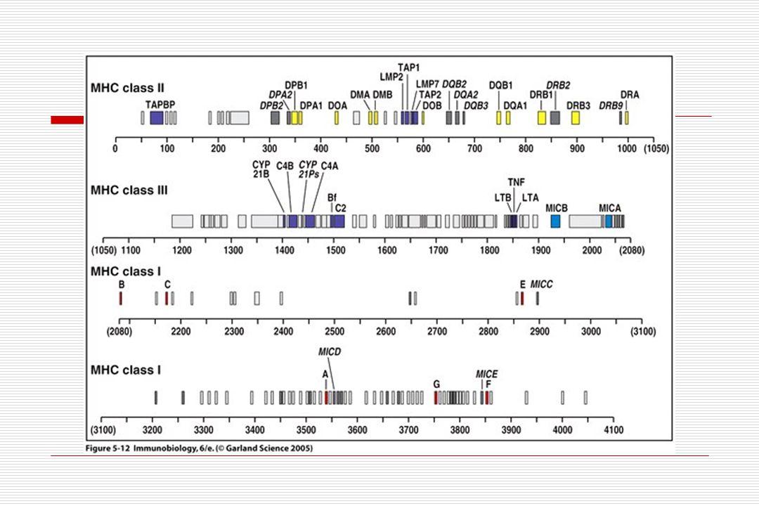 MHC: função  Rejeição de transplantes.