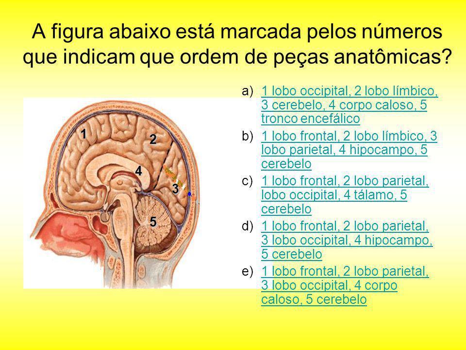 A figura abaixo está marcada pelos números que indicam que ordem de peças anatômicas? 1 2 3 5 4 a)1 lobo occipital, 2 lobo límbico, 3 cerebelo, 4 corp