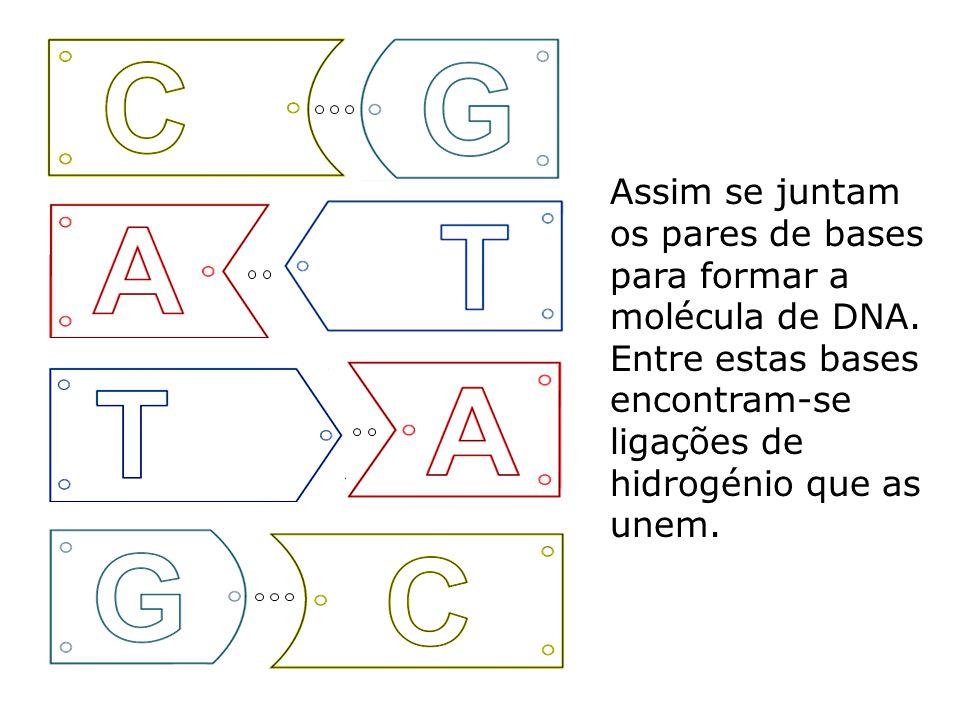 Assim se juntam os pares de bases para formar a molécula de DNA.