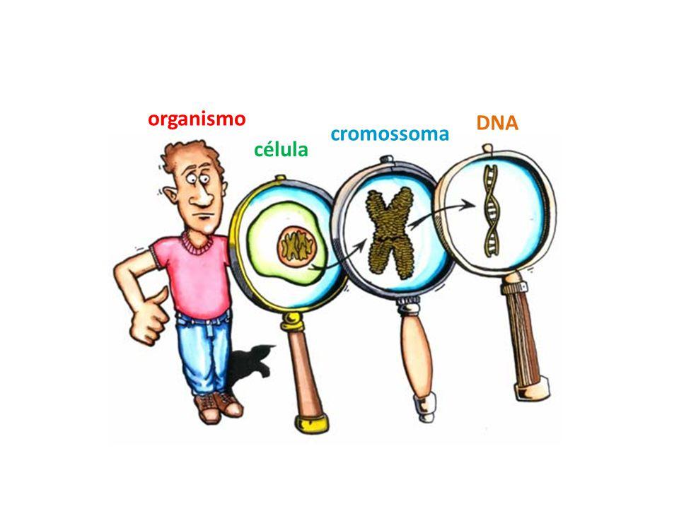 organismo célula cromossoma DNA