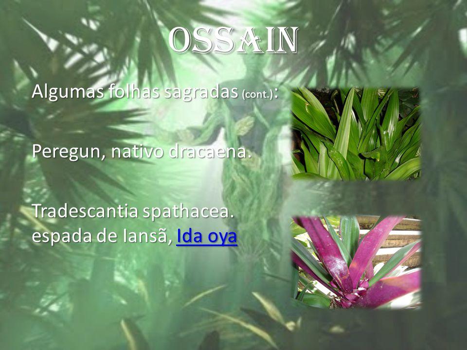 OSSAIN Algumas folhas sagradas (cont.) : Peregun, nativo dracaena. Tradescantia spathacea. espada de Iansã, Ida oya Ida oyaIda oya