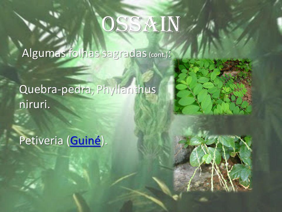 OSSAIN Algumas folhas sagradas (cont.) : Algumas folhas sagradas (cont.) : Quebra-pedra, Phyllanthus niruri. Petiveria (Guiné). Guiné