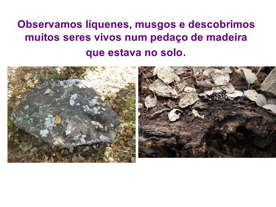 Observamos líquenes, musgos e descobrimos muitos seres vivos num pedaço de madeira que estava no solo.