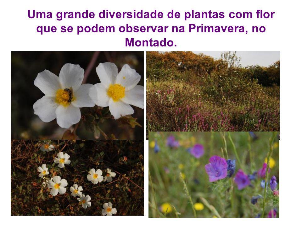Uma grande diversidade de plantas com flor que se podem observar na Primavera, no Montado.