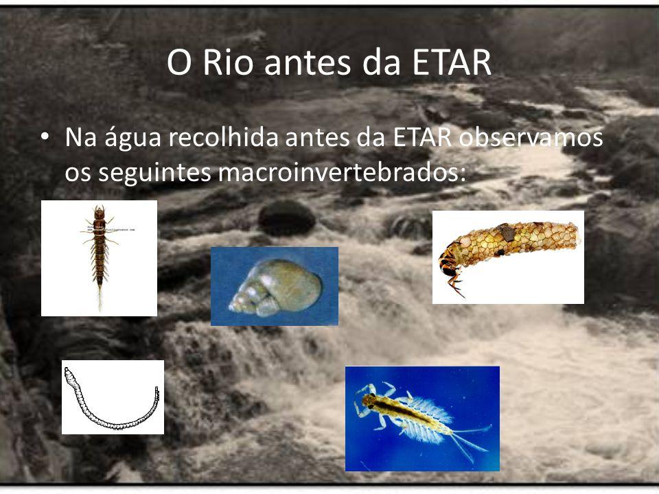 O Rio antes da ETAR Na água recolhida antes da ETAR observamos os seguintes macroinvertebrados: