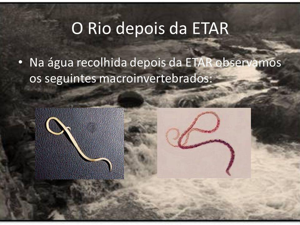 O Rio depois da ETAR Na água recolhida depois da ETAR observamos os seguintes macroinvertebrados:
