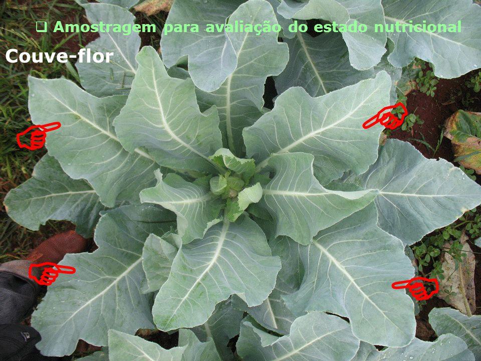  Amostragem para avaliação do estado nutricional   Couve-flor  