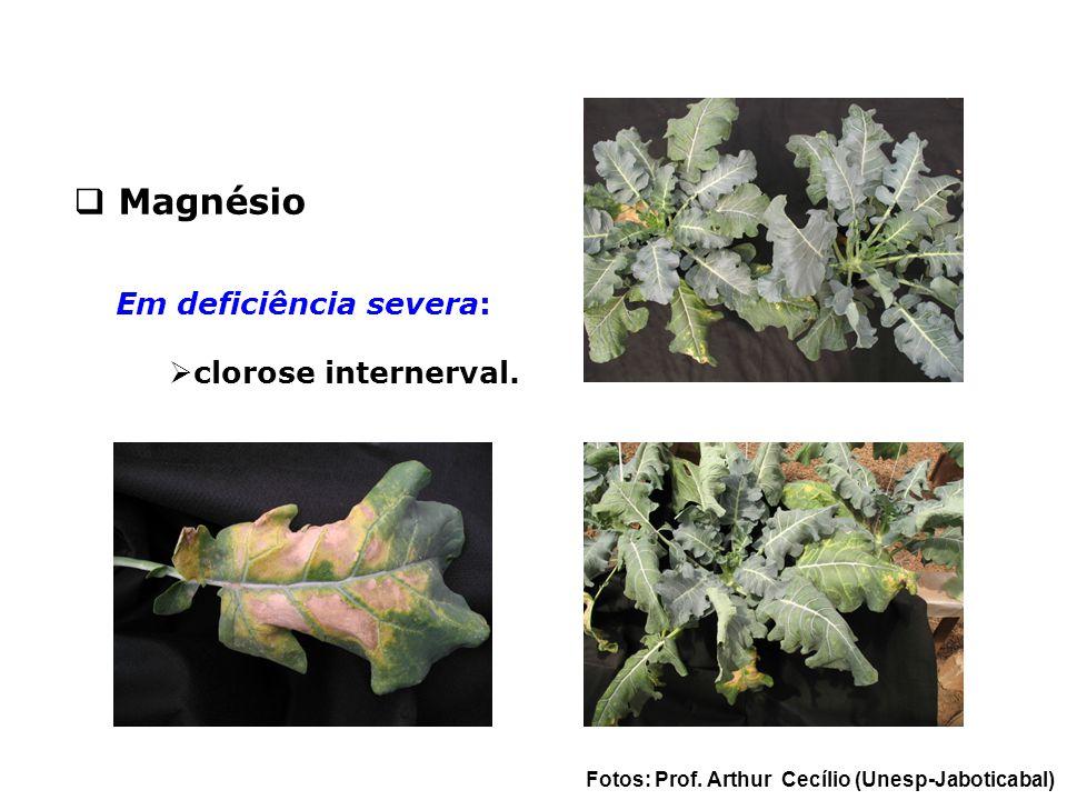 Em deficiência severa:  clorose internerval.  Magnésio Fotos: Prof. Arthur Cecílio (Unesp-Jaboticabal)