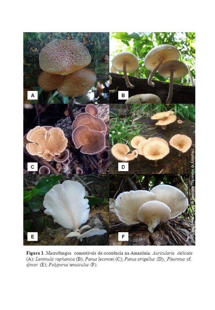 Figura 1. Macrofungos comestíveis de ocorrência na Amazônia. Auricularia delicata (A); Lentinula raphanica (B); Panus lecomtei (C); Panus strigellus (