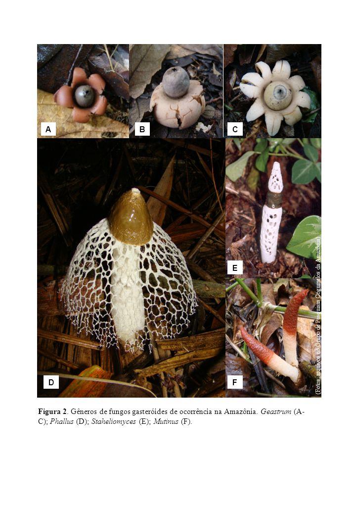 Figura 2. Gêneros de fungos gasteróides de ocorrência na Amazônia. Geastrum (A- C); Phallus (D); Staheliomyces (E); Mutinus (F). ABC D E F (Fotos: arq