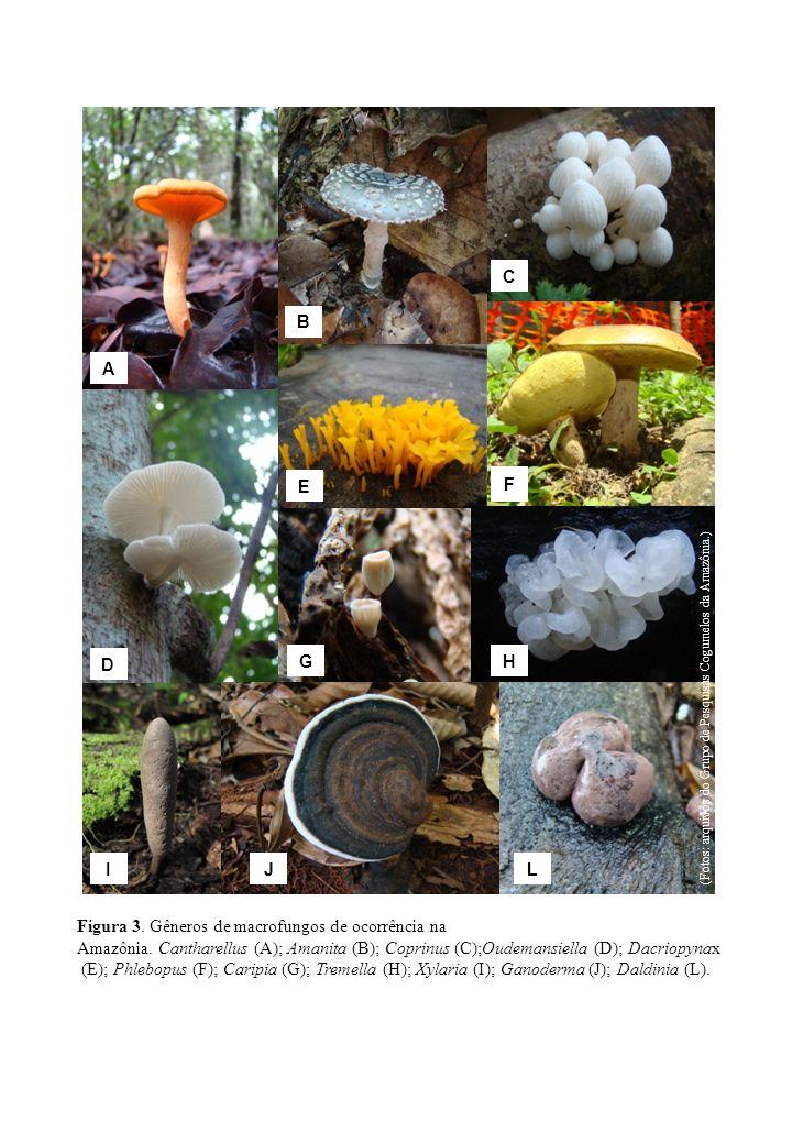 Figura 3. Gêneros de macrofungos de ocorrência na Amazônia. Cantharellus (A); Amanita (B); Coprinus (C);Oudemansiella (D); Dacriopynax (E); Phlebopus