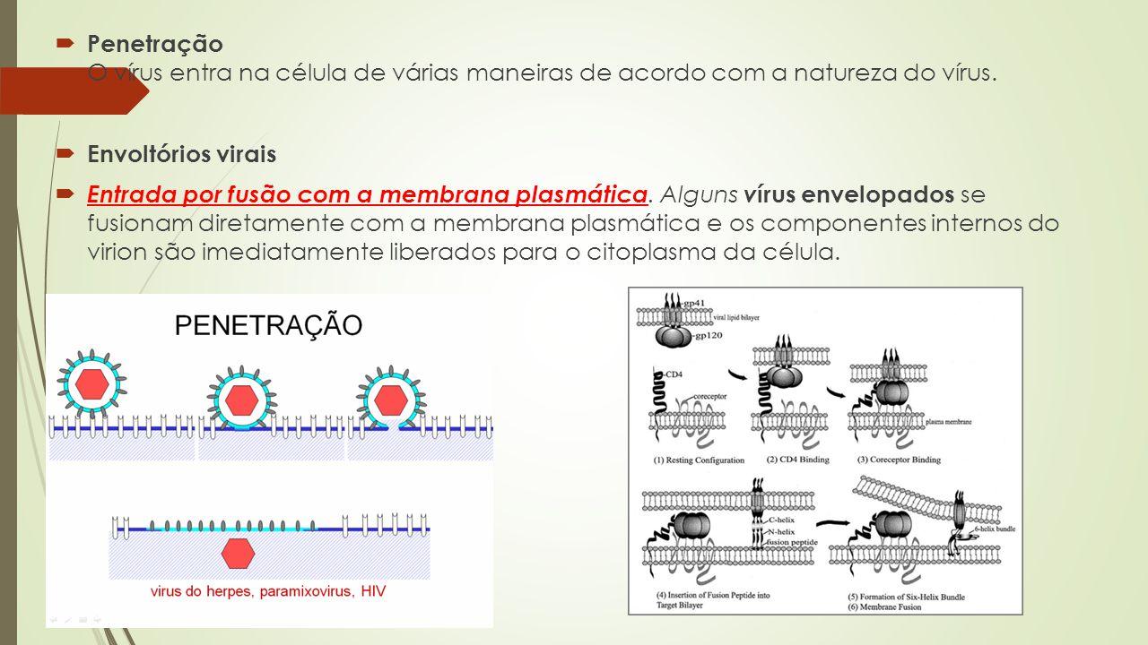  Penetração O vírus entra na célula de várias maneiras de acordo com a natureza do vírus.  Envoltórios virais  Entrada por fusão com a membrana pla