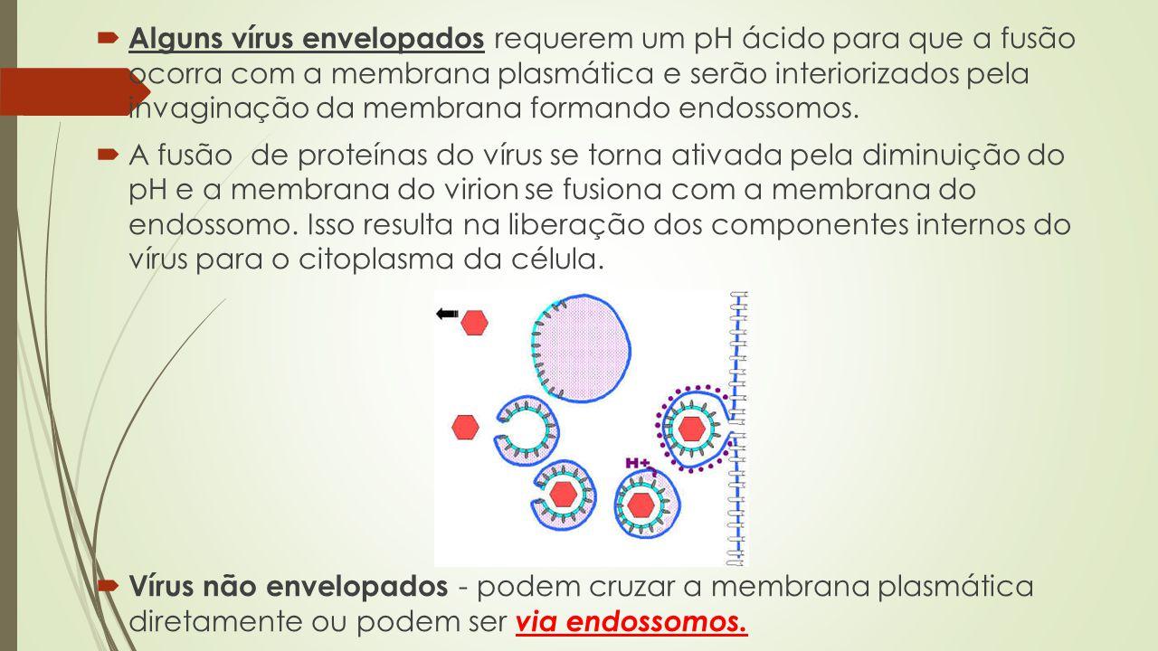  Alguns vírus envelopados requerem um pH ácido para que a fusão ocorra com a membrana plasmática e serão interiorizados pela invaginação da membrana