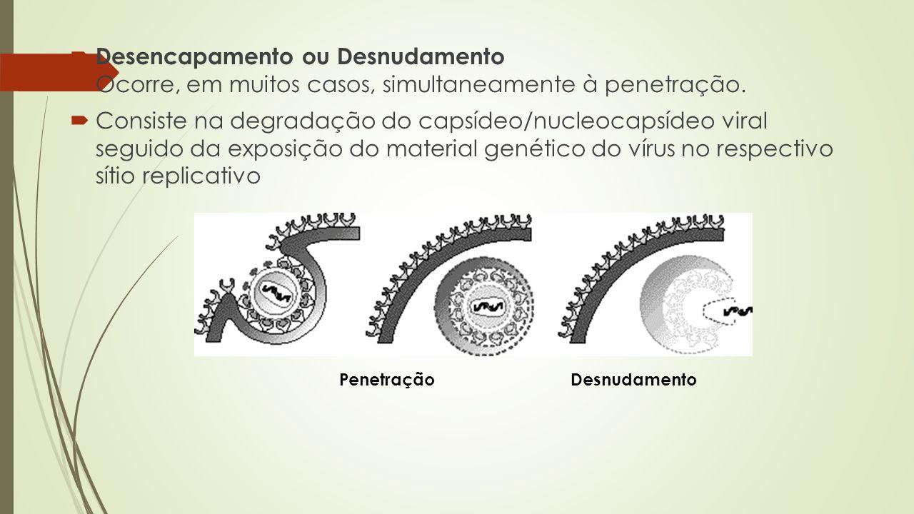  Desencapamento ou Desnudamento Ocorre, em muitos casos, simultaneamente à penetração.  Consiste na degradação do capsídeo/nucleocapsídeo viral segu
