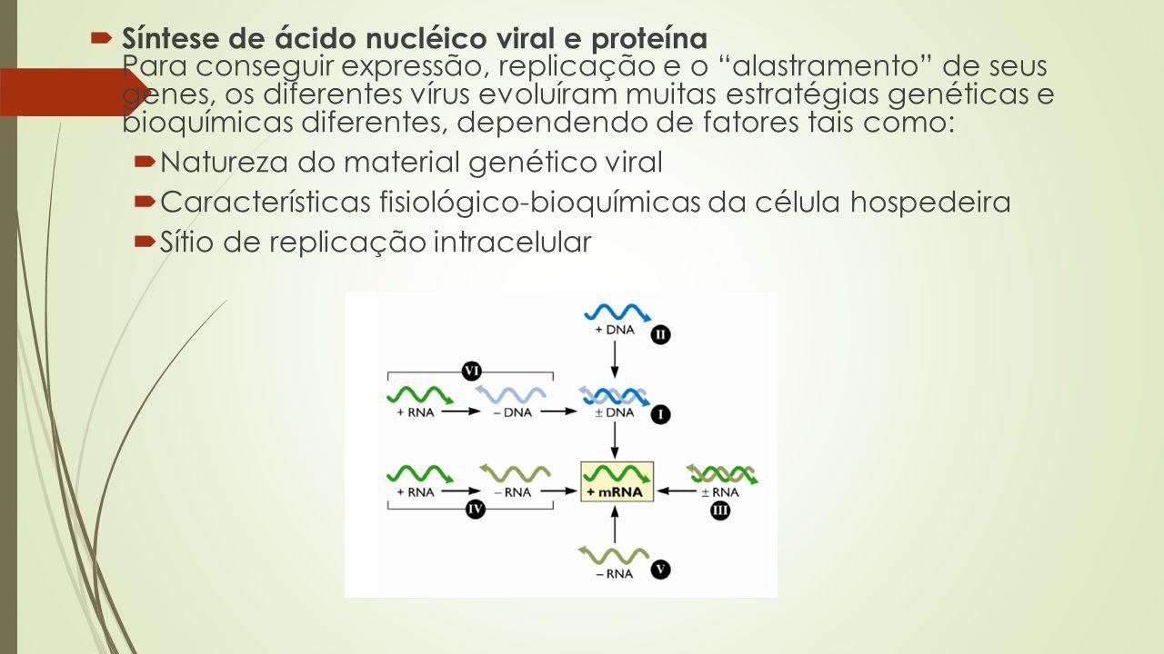 """ Síntese de ácido nucléico viral e proteína Para conseguir expressão, replicação e o """"alastramento"""" de seus genes, os diferentes vírus evoluíram muit"""