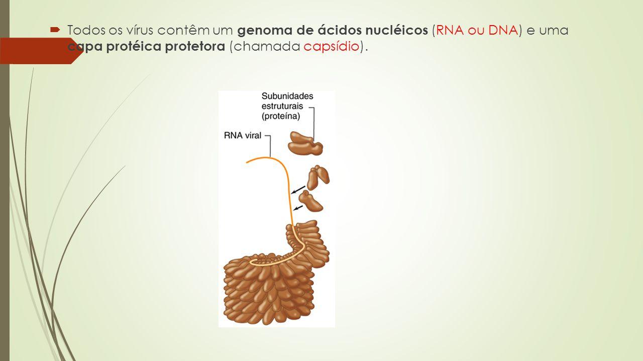  Todos os vírus contêm um genoma de ácidos nucléicos (RNA ou DNA) e uma capa protéica protetora (chamada capsídio).