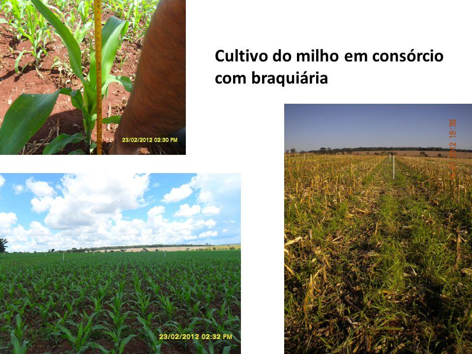 Cultivo do milho em consórcio com braquiária
