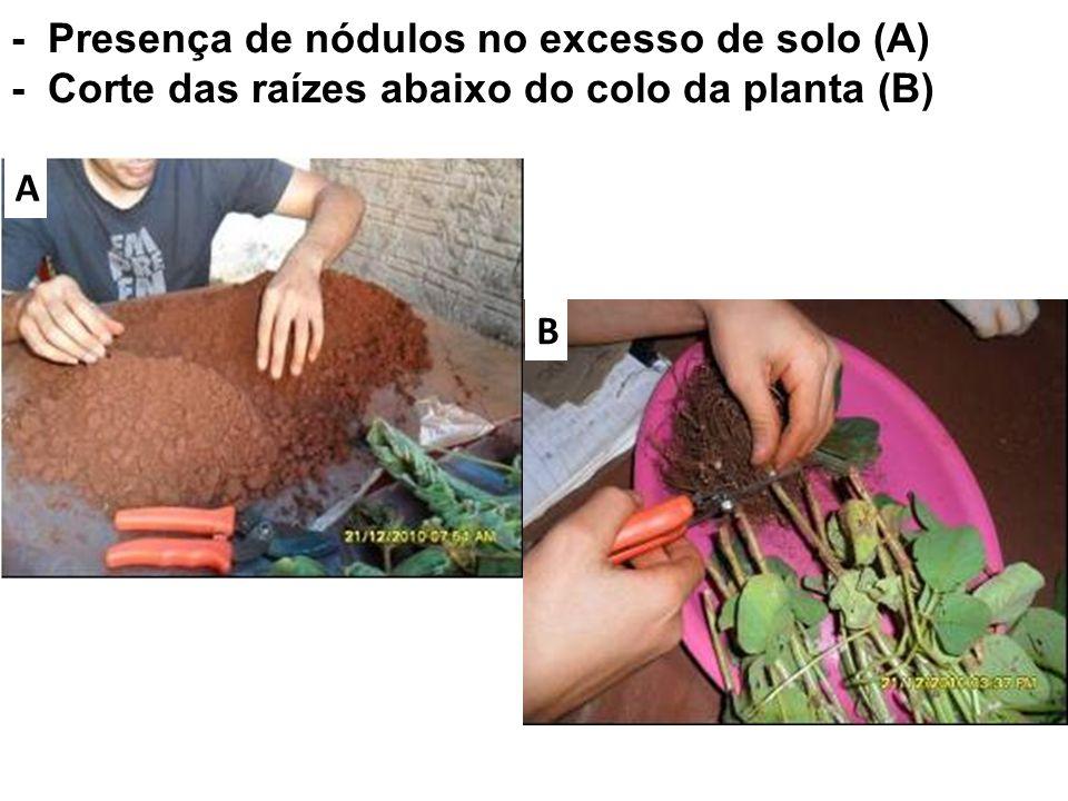 - Presença de nódulos no excesso de solo (A) - Corte das raízes abaixo do colo da planta (B) A B