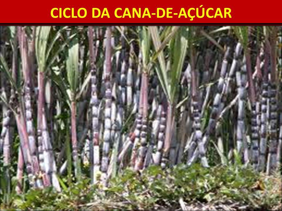 CICLO DA CANA-DE-AÇÚCAR 8