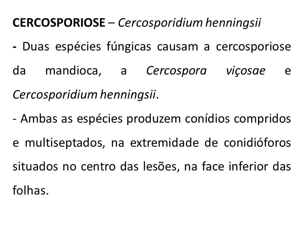 CERCOSPORIOSE – Cercosporidium henningsii - Duas espécies fúngicas causam a cercosporiose da mandioca, a Cercospora viçosae e Cercosporidium henningsi