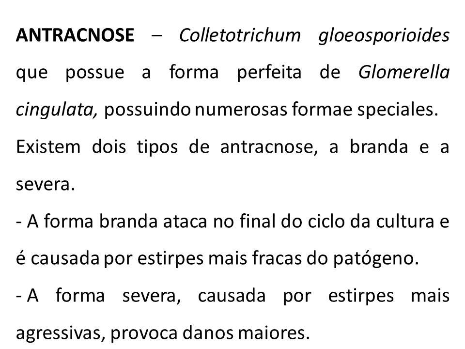 ANTRACNOSE – Colletotrichum gloeosporioides que possue a forma perfeita de Glomerella cingulata, possuindo numerosas formae speciales. Existem dois ti