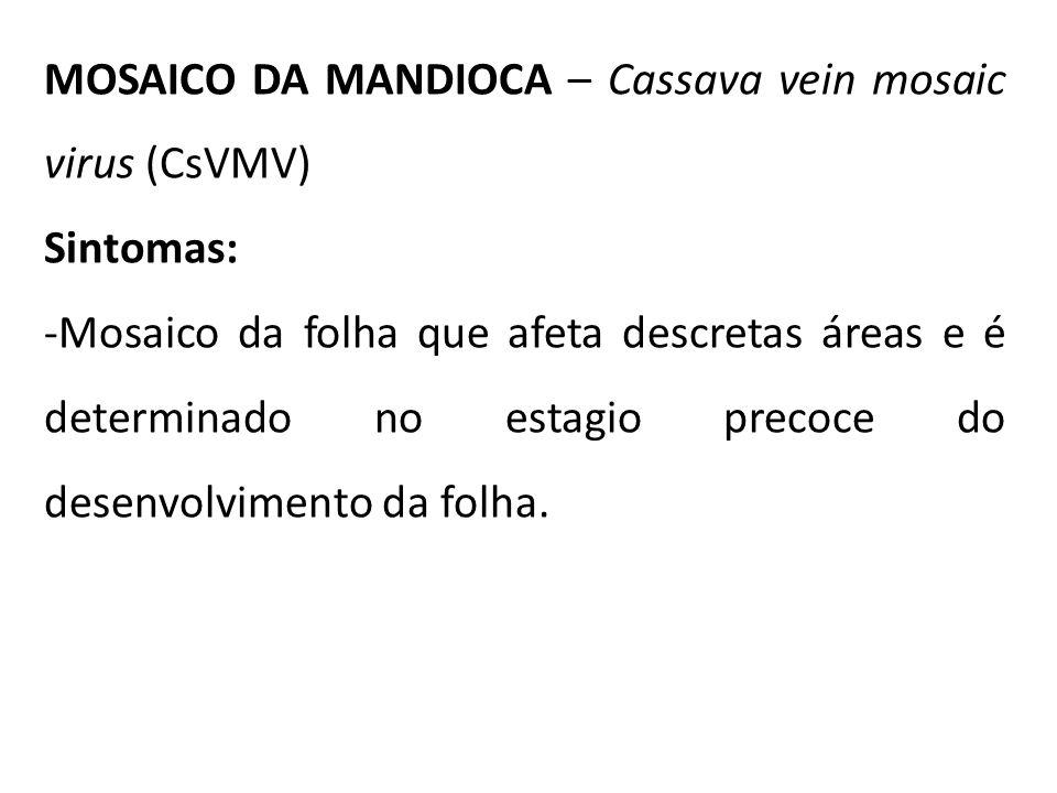 MOSAICO DA MANDIOCA – Cassava vein mosaic virus (CsVMV) Sintomas: -Mosaico da folha que afeta descretas áreas e é determinado no estagio precoce do de