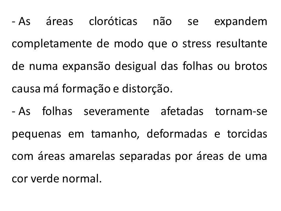 - As áreas cloróticas não se expandem completamente de modo que o stress resultante de numa expansão desigual das folhas ou brotos causa má formação e