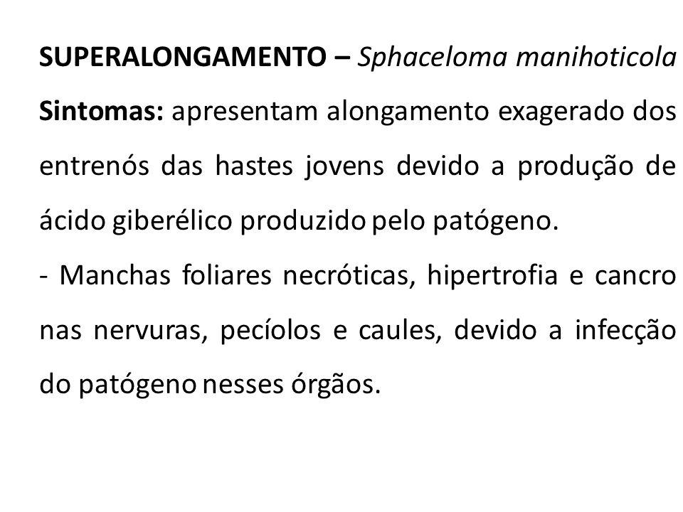 SUPERALONGAMENTO – Sphaceloma manihoticola Sintomas: apresentam alongamento exagerado dos entrenós das hastes jovens devido a produção de ácido giberé