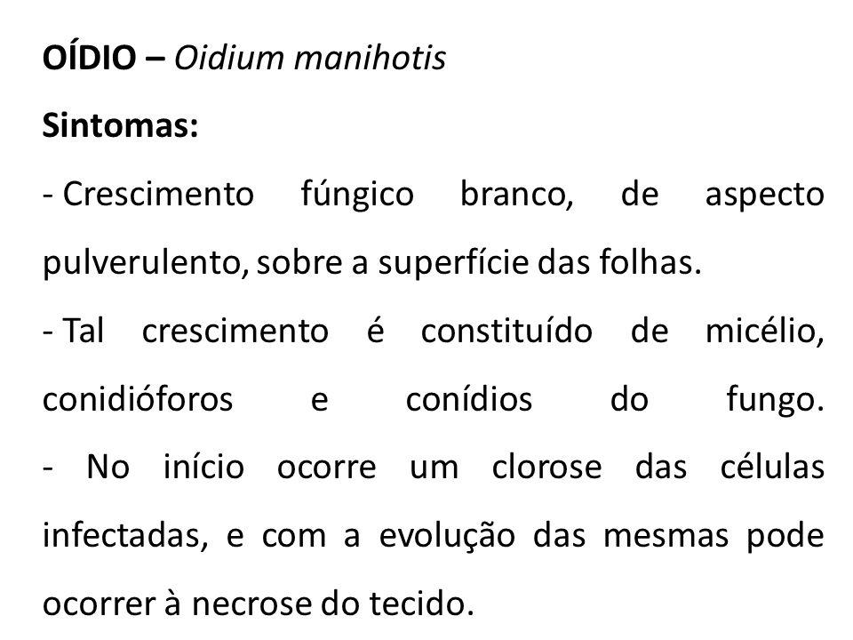 OÍDIO – Oidium manihotis Sintomas: - Crescimento fúngico branco, de aspecto pulverulento, sobre a superfície das folhas. - Tal crescimento é constituí
