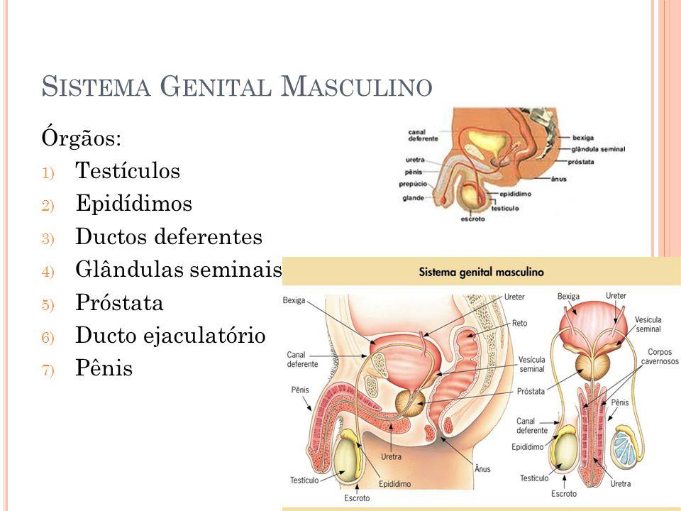 S ISTEMA G ENITAL M ASCULINO Órgãos: 1) Testículos 2) Epidídimos 3) Ductos deferentes 4) Glândulas seminais 5) Próstata 6) Ducto ejaculatório 7) Pênis