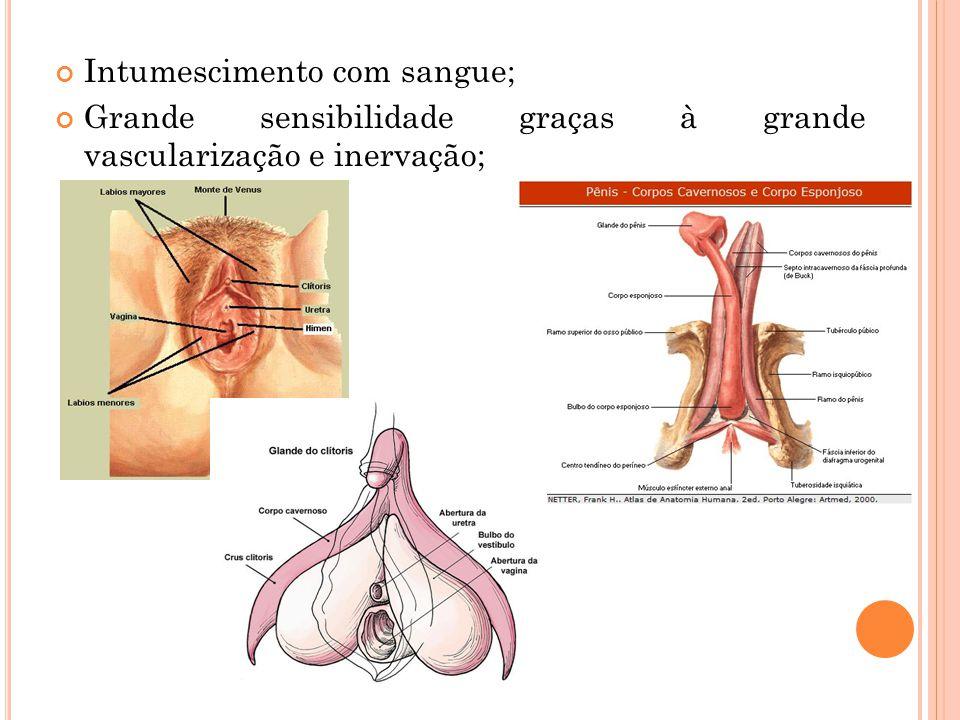 Intumescimento com sangue; Grande sensibilidade graças à grande vascularização e inervação;