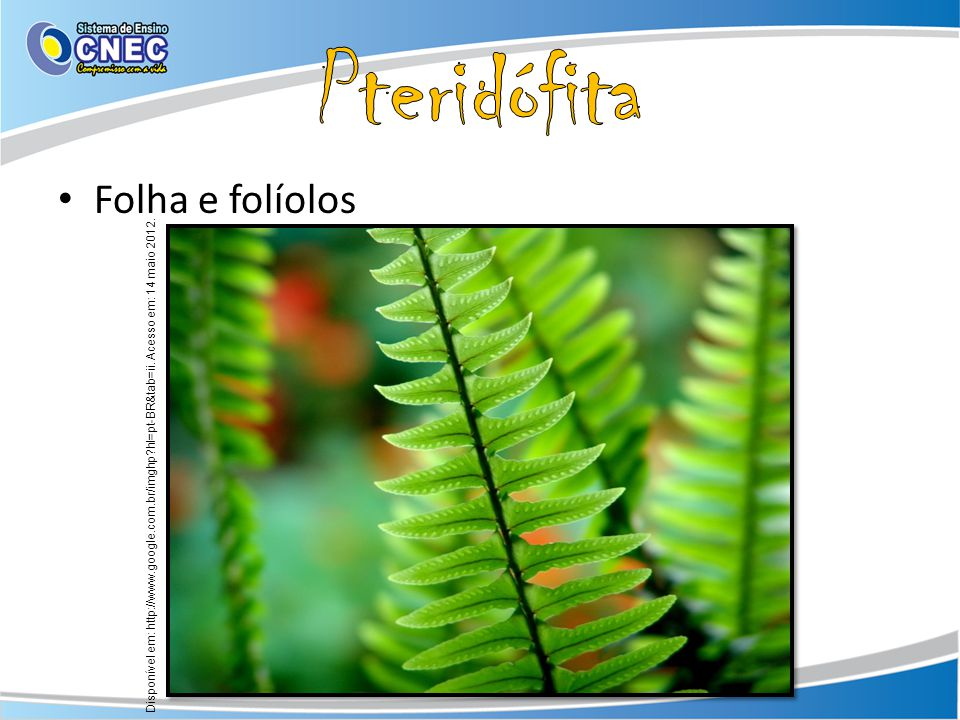 Folha e folíolos Disponível em: http://www.google.com.br/imghp?hl=pt-BR&tab=ii. Acesso em: 14 maio 2012.