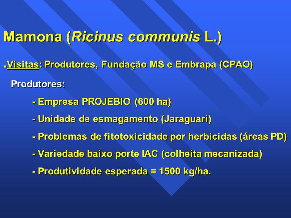 Mamona (Ricinus communis L.). Visitas: Produtores, Fundação MS e Embrapa (CPAO) Produtores: - Empresa PROJEBIO (600 ha) - Unidade de esmagamento (Jara