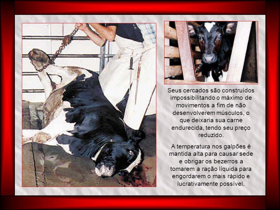 Não recebem forragem para não lhes avermelhar a carne, sendo comum a ocorrência de problemas digestivos e de intestino nos bezerros devido à falta de fibras.