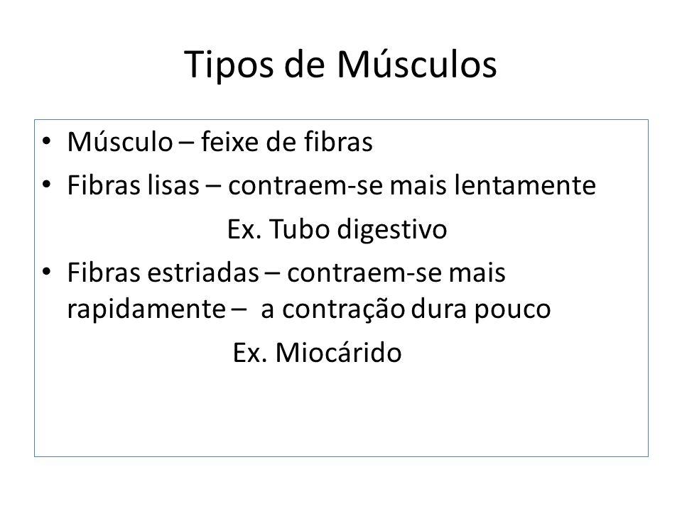 Tipos de Músculos Músculo – feixe de fibras Fibras lisas – contraem-se mais lentamente Ex.