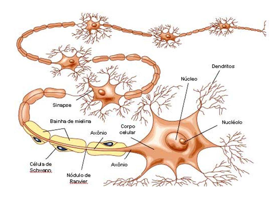 Condução Saltatória: Nervos Mielínicos – troca iônica ocorre apenas nos nódulos de ranvier: O impulso salta sobre as bainhas de mielina Portanto: velocidade de condução maior que nos nervos Amielínicos ( 200m/s X 1m/s) Gasto de energia também é menor