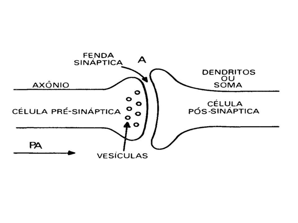 Sinapses Impulso ou transmissão da informação é feita por mediadores químicos ( neurotransmissor, ex.: acetilcolina, norepinefrina, dopamina, serotonina) ou contato elétrico Sinapses elétricas: período de latência menor Sinapses químicas: período de latência maior Como ocorre: Sinapse excitatória ex.