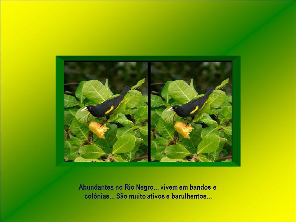 Abundantes no Rio Negro... vivem em bandos e colônias... São muito ativos e barulhentos...