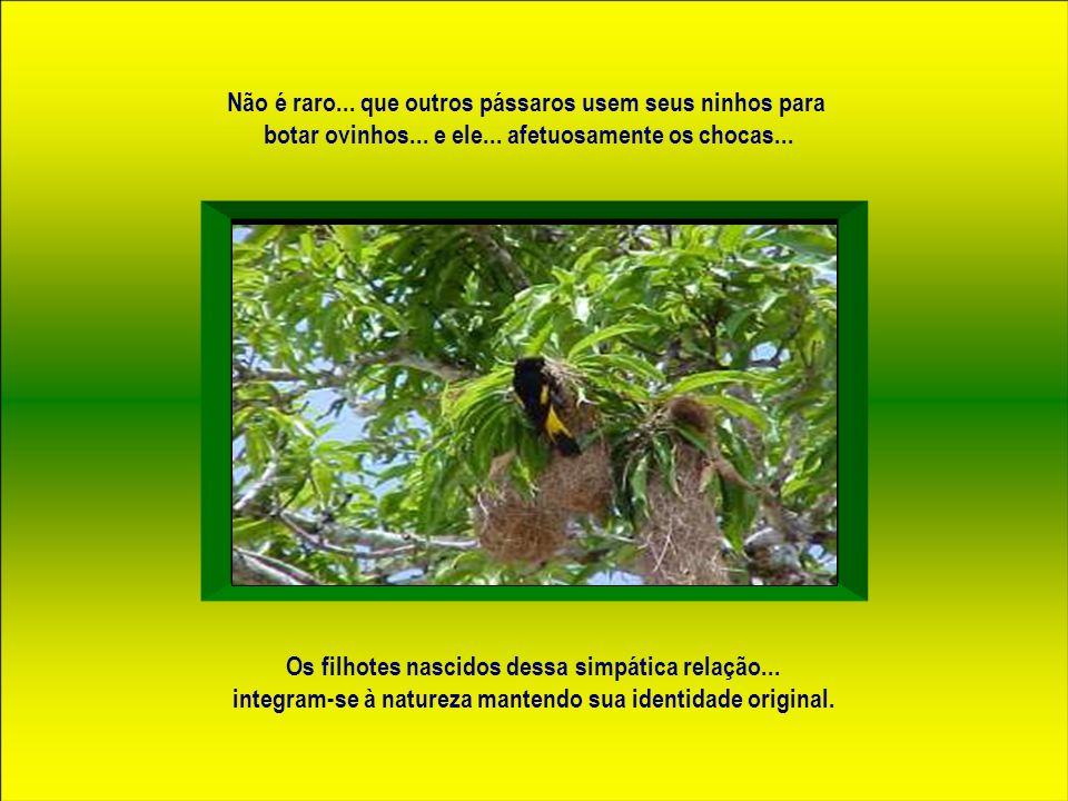 Seu ninho é de forma ovalóide e fica pendurado por um finíssimo fio... que liga o corpo central ao galho da árvore... gerando dois movimentos essencia