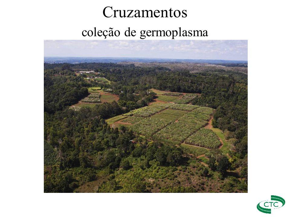 Cruzamentos coleção de germoplasma