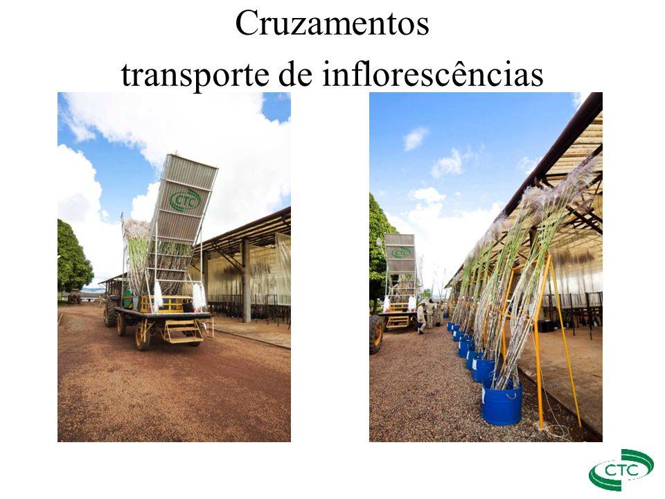 Cruzamentos transporte de inflorescências