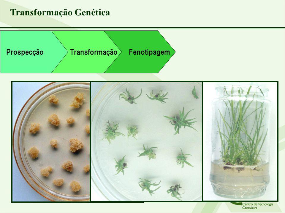 Transformação Genética Transformação Fenotipagem Prospecção